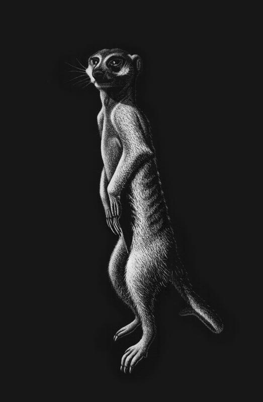 Meerkat (Suricata suricata) - scratchboard
