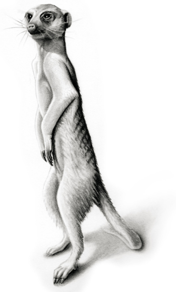 Meerkat (Suricata suricatta) - pencil version