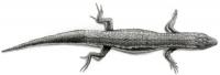 Blak Lizard (Pantodactylus schreibersii)