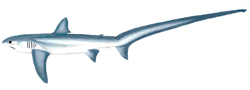 Thresher Shark (Alopias vulpinus)