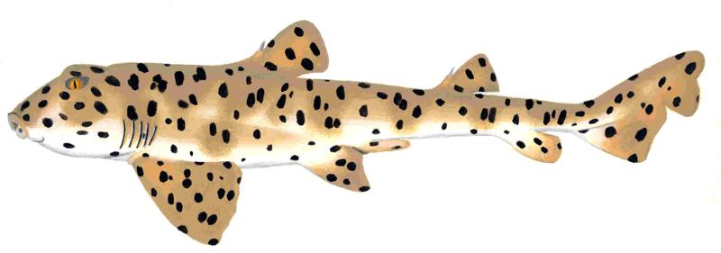 Galapagos Bullhead Shark (Heterodontus quoyi)