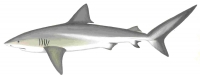Galapagos Shark (Carcharhinus galapagensis)