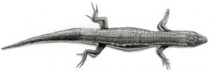 Pantodactylus-schreibersii