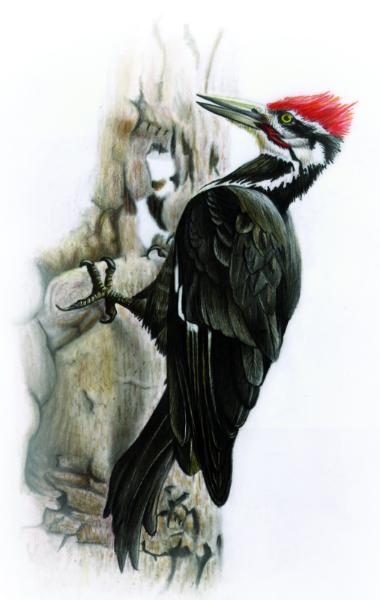 Pileated-Woodpecker-Dryocopus-pileatus